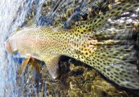Trout Mammoth Lakes