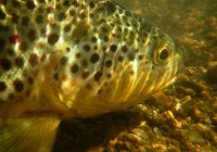 underwaterbrowntrout
